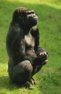 горилла ест мясо