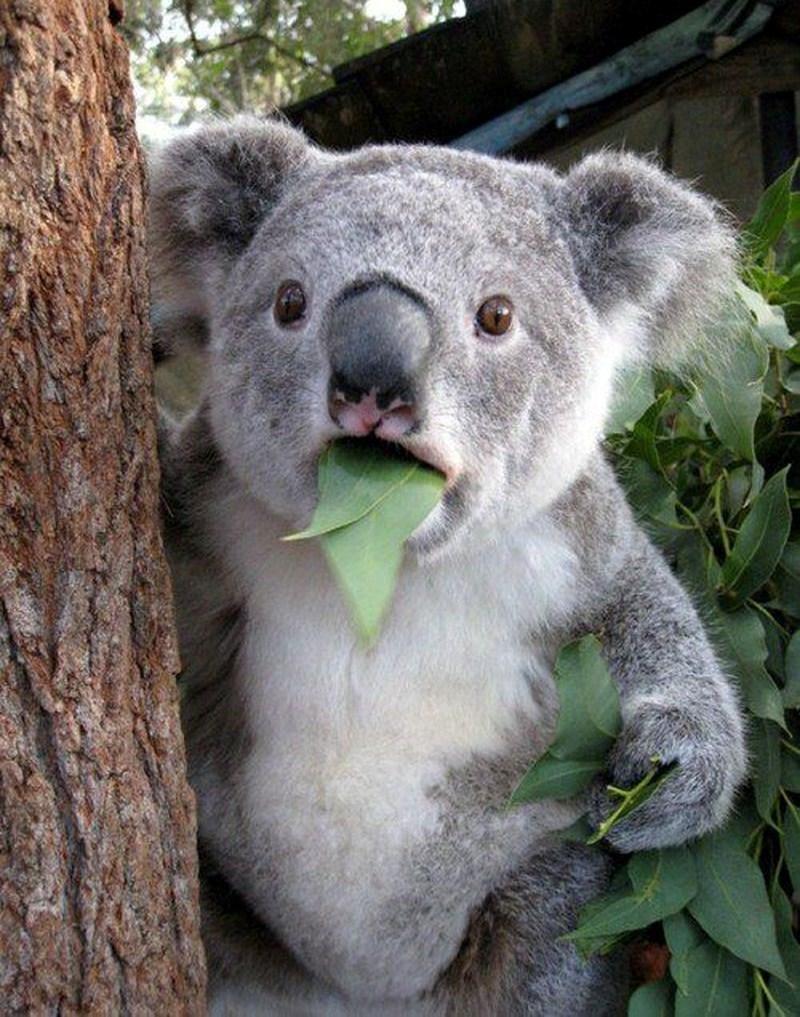 коала 2