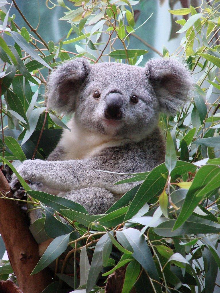 коала 3