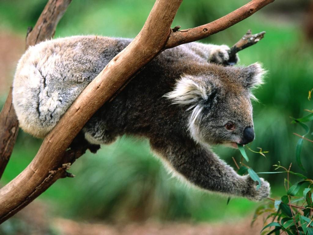 коала 4