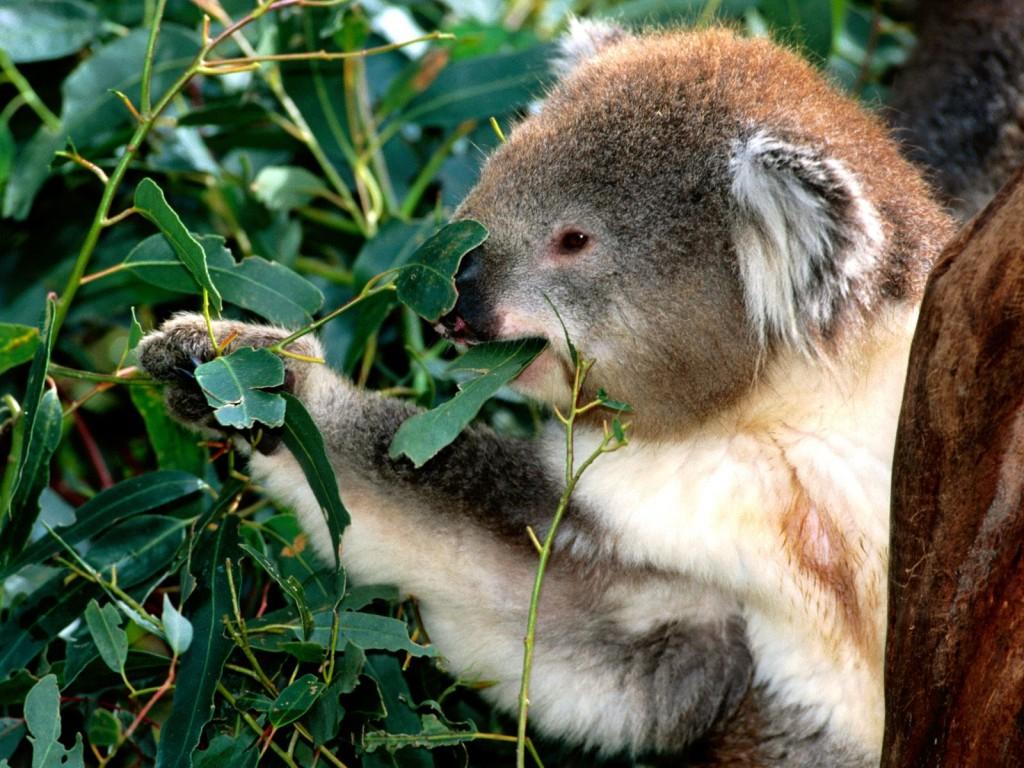 коала 5